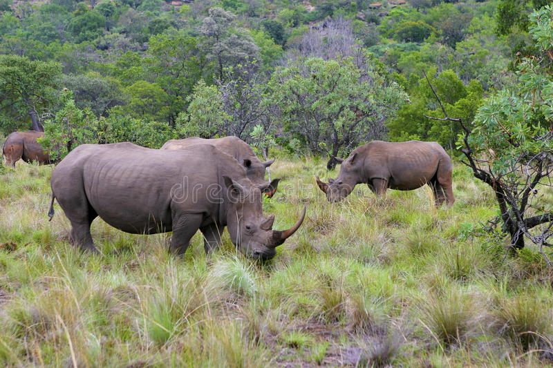Download Rhinoceros in South Africa stock image. Image of meadow - 16789333