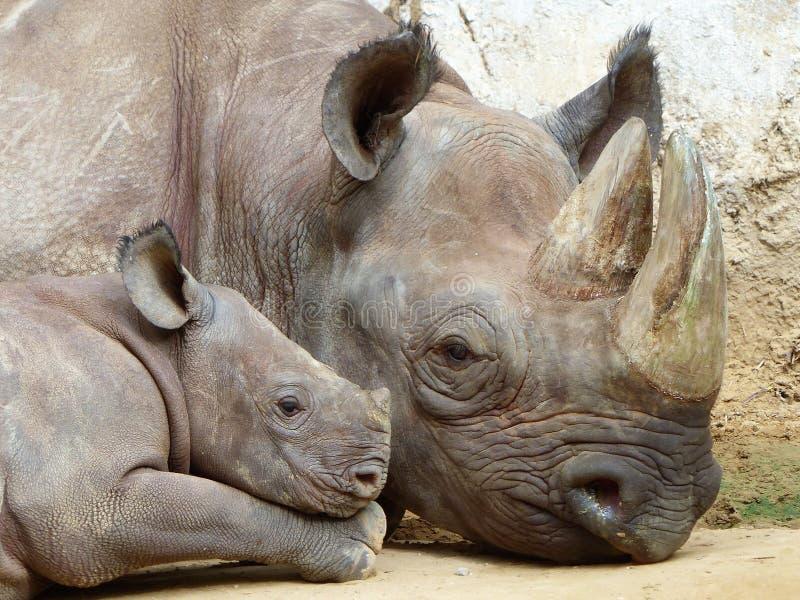 Rhinoceros, Terrestrial Animal, Wildlife, Mammal stock photography