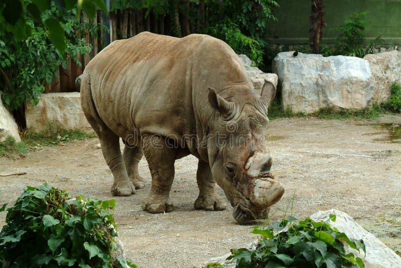rhinoceros tiere Wissen der Natur Dekoratives Fenster einer historischen Wohnung stockfotografie