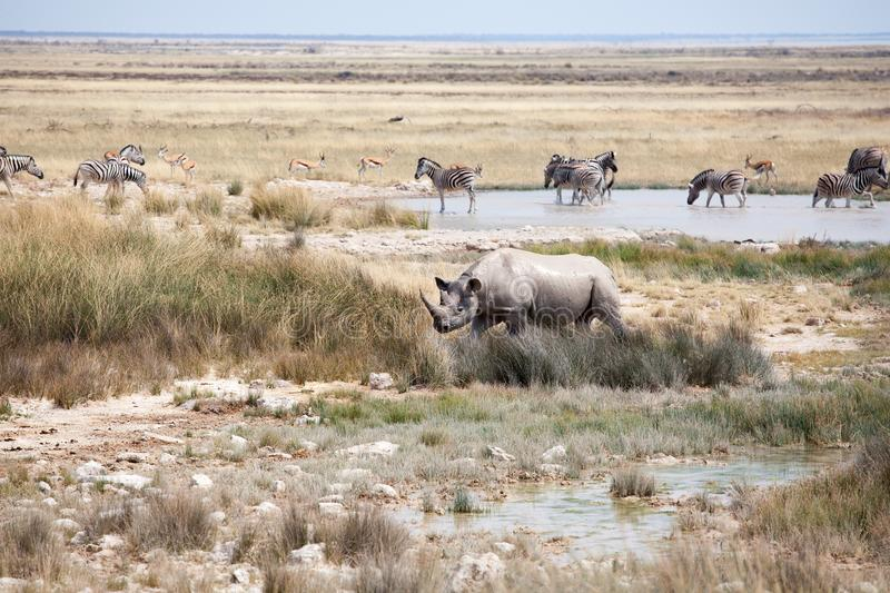 Rhinoceros with two tusks and herd of zebras and impala antelopes in Etosha National Park, Namibia drink water from the lake. Safari in Southern Africa in the stock image