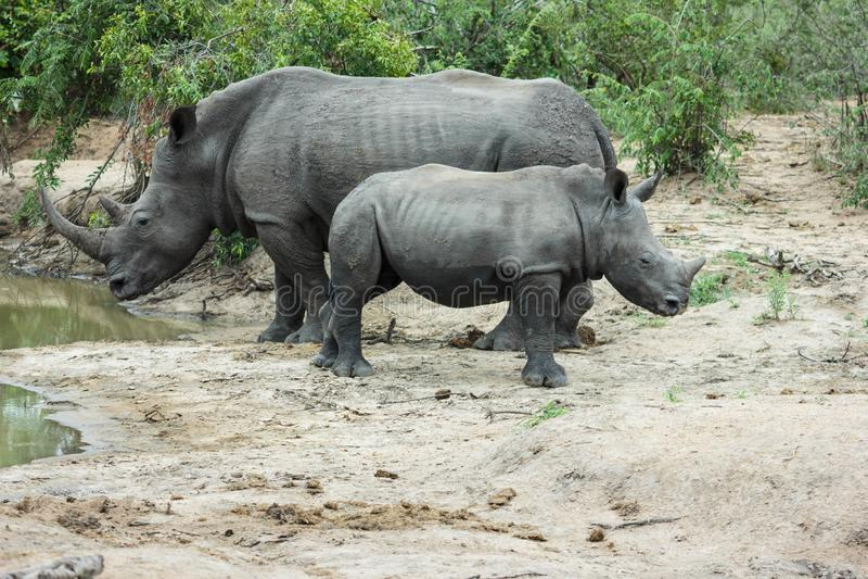 Rhinoceros und Kalb stockfoto