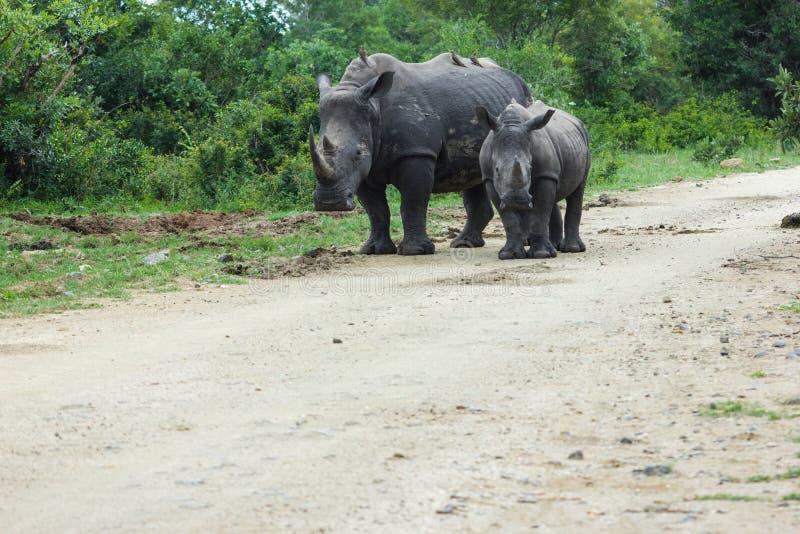 Rhinoceros und Kalb, die eine schmutzige Straße hinuntergehen stockbild