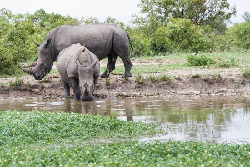 Rhinoceros und Kalb in einem Wasserloch lizenzfreie stockbilder