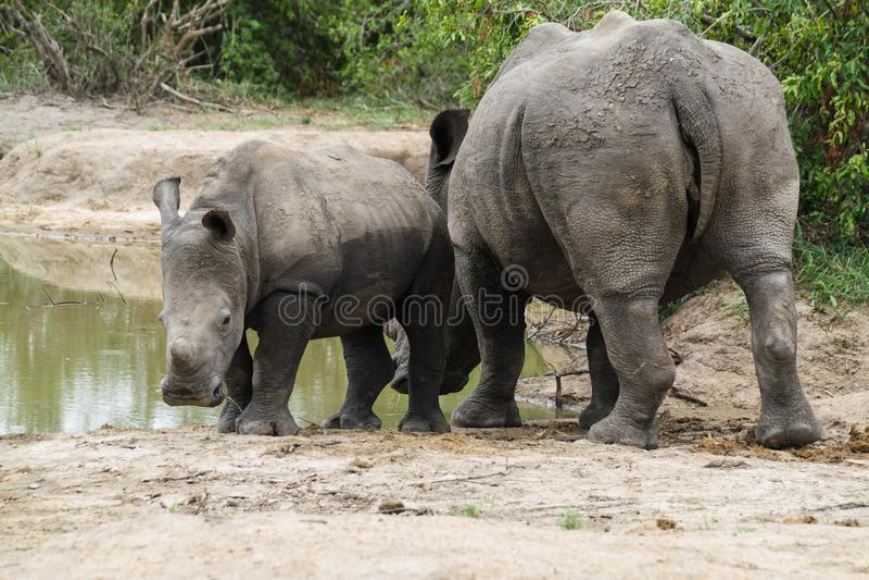 Rhinoceros und Kalb um ein Wasserloch stockbild