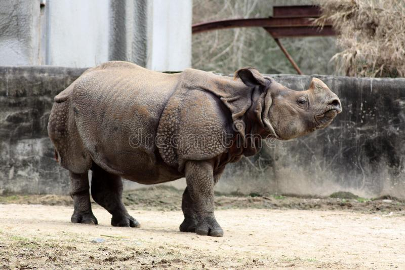 Rhinoceros sniffing the air in his enclosure stock photography