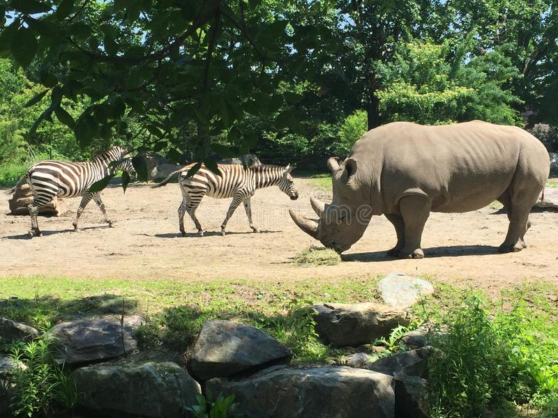 Rhinoceros and zebras friend at the zoo stock photography