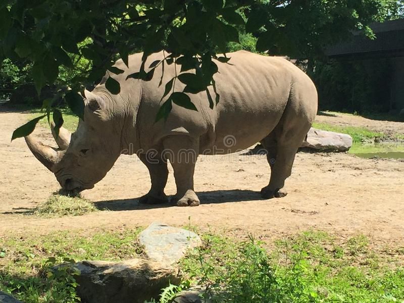 A rhinoceros at the zoo stock image