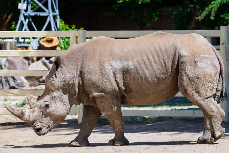 Rhinoceros in a zoo. Wild animals in captivity, herbivore, horn, park, big, mammal, extinction, herbivorous, horned, africa, african, conservation, endangered stock photography