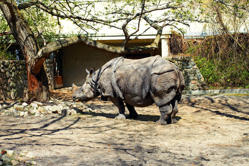 Rhinoceros in the zoo in the spring. (Ceratotherium simum royalty free stock photos