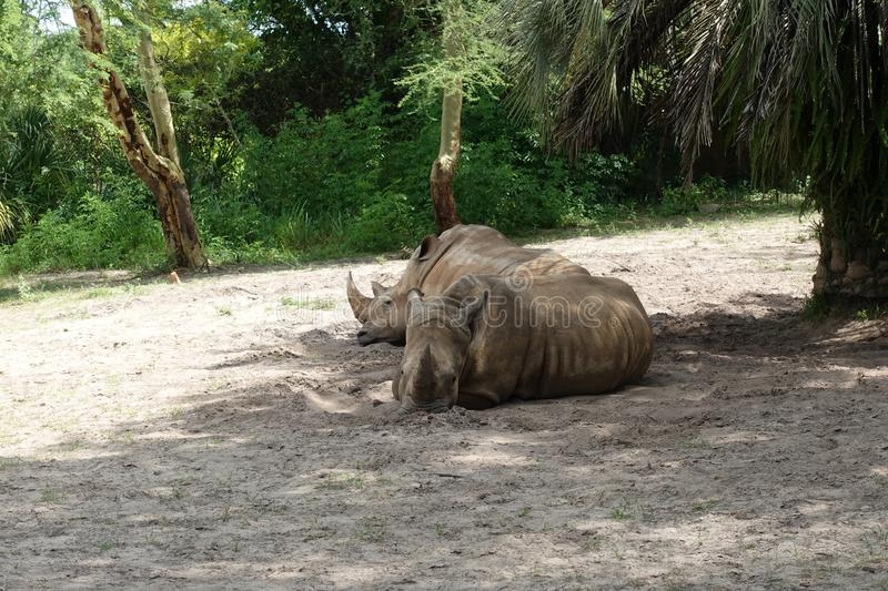 Two Rhinoceros at the zoo stock photos