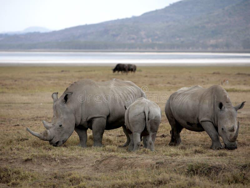 rhinoceroses семьи стоковые фотографии rf
