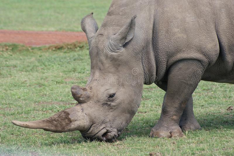 Rhinocerous foto de stock royalty free