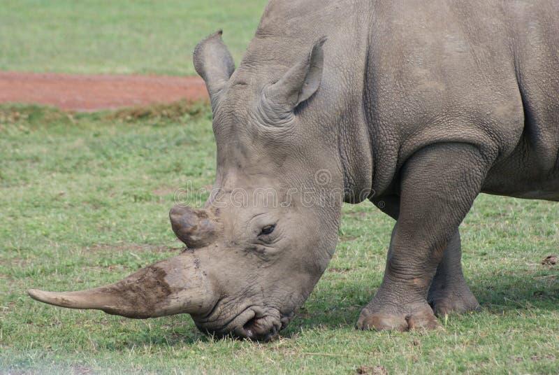 Rhinocerous στοκ φωτογραφία με δικαίωμα ελεύθερης χρήσης