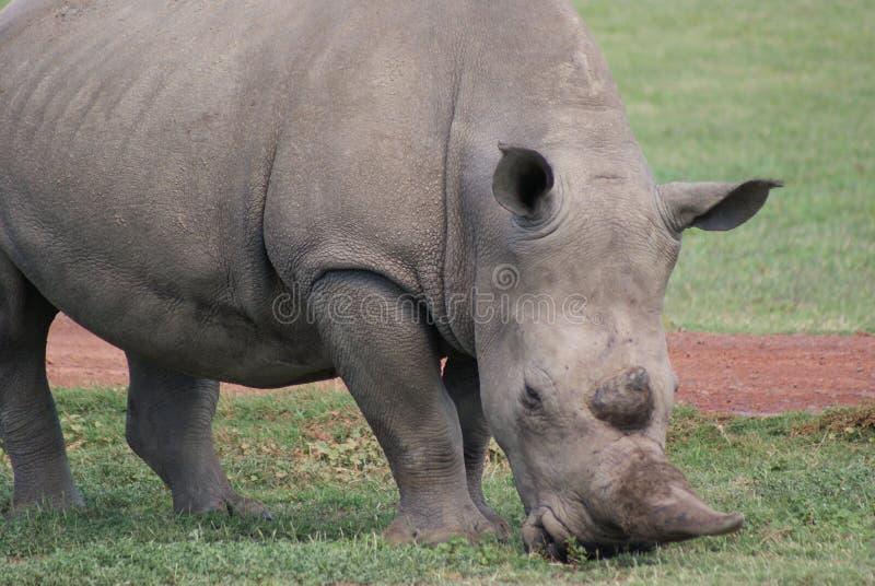 Rhinocerous στοκ φωτογραφία