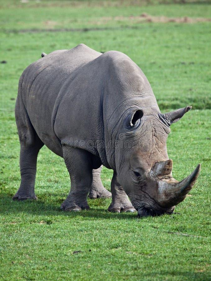 Rhinocerous imagem de stock