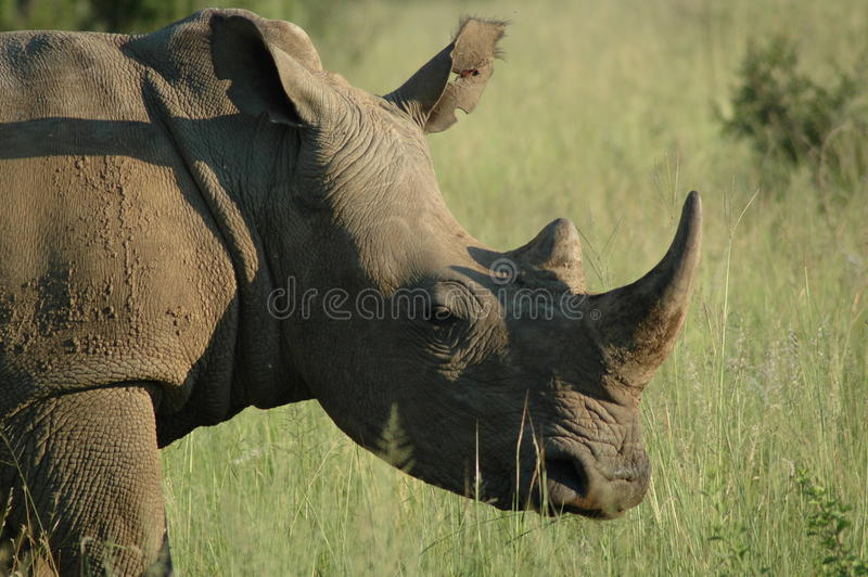 Rhinocerous foto de stock royalty free