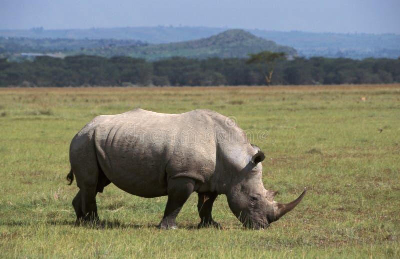 Rhinocerous branco, neushoorn de Witte, simum do Ceratotherium fotografia de stock royalty free