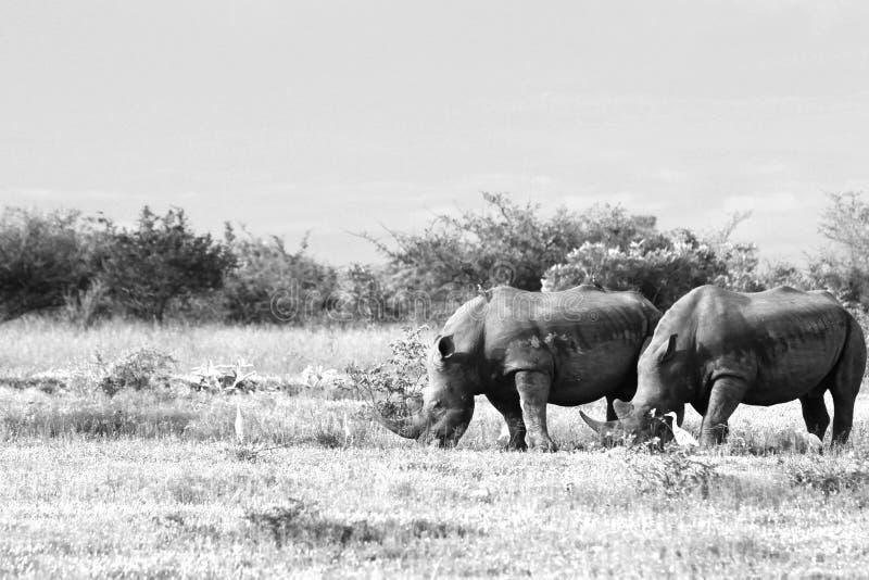 Rhinocerous branco posto em perigo foto de stock