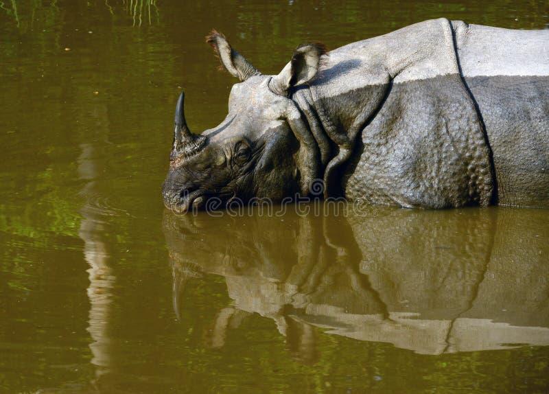 Rhinocerous ha messo in pericolo