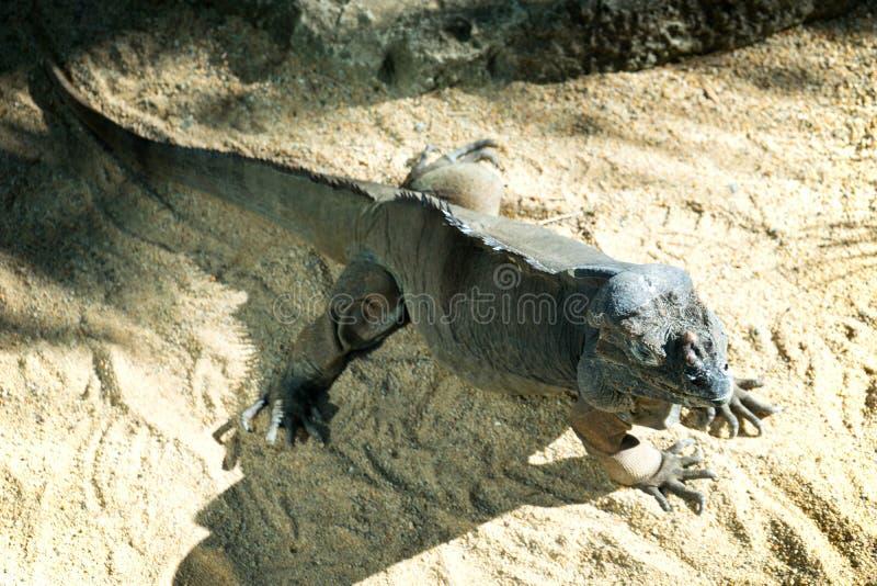 rhinocerous leguan royaltyfria bilder