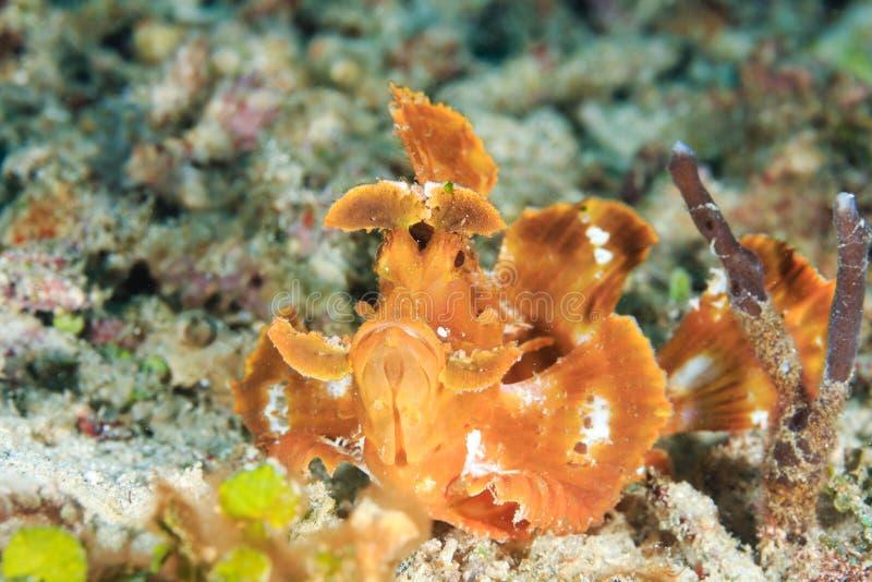 Rhinopias eschmeyeri. Han's Reef - Gili Air royalty free stock photo