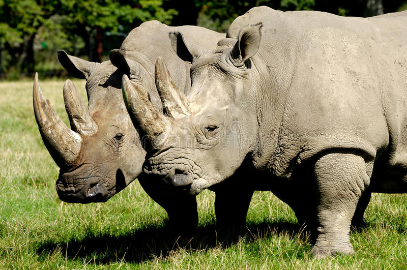 Download Rhinos stock photo. Image of african, face, animal, rhino - 20654166