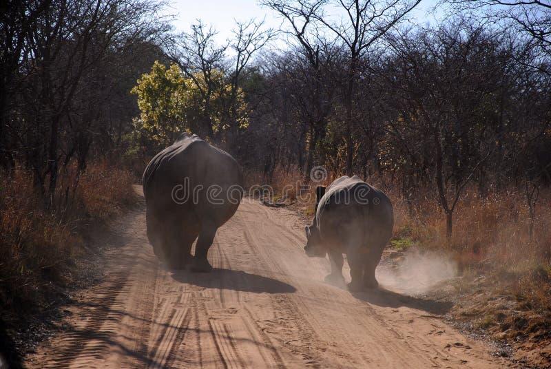 Rhinos immagine stock libera da diritti