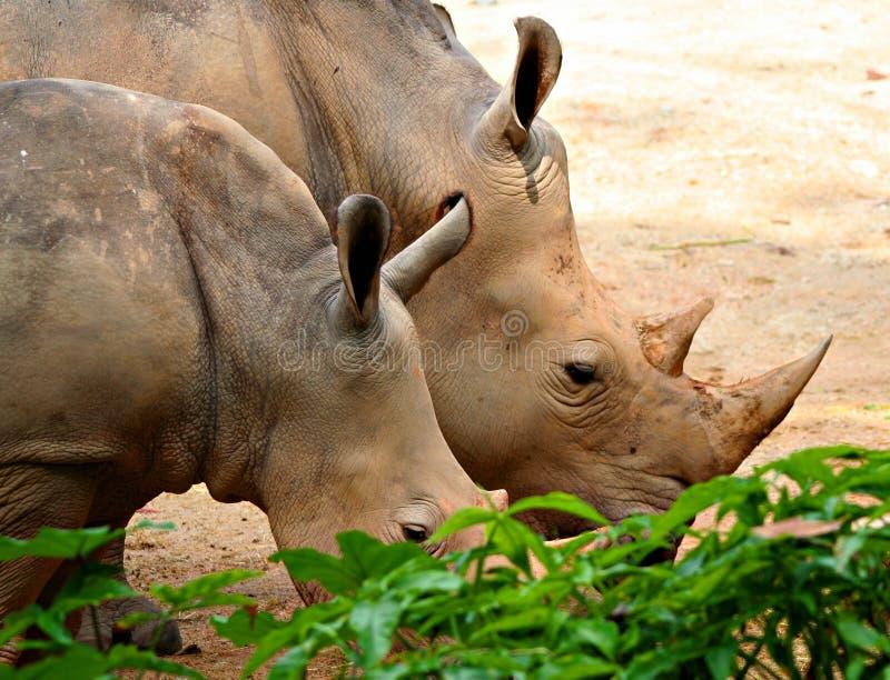 Rhinos imagen de archivo libre de regalías