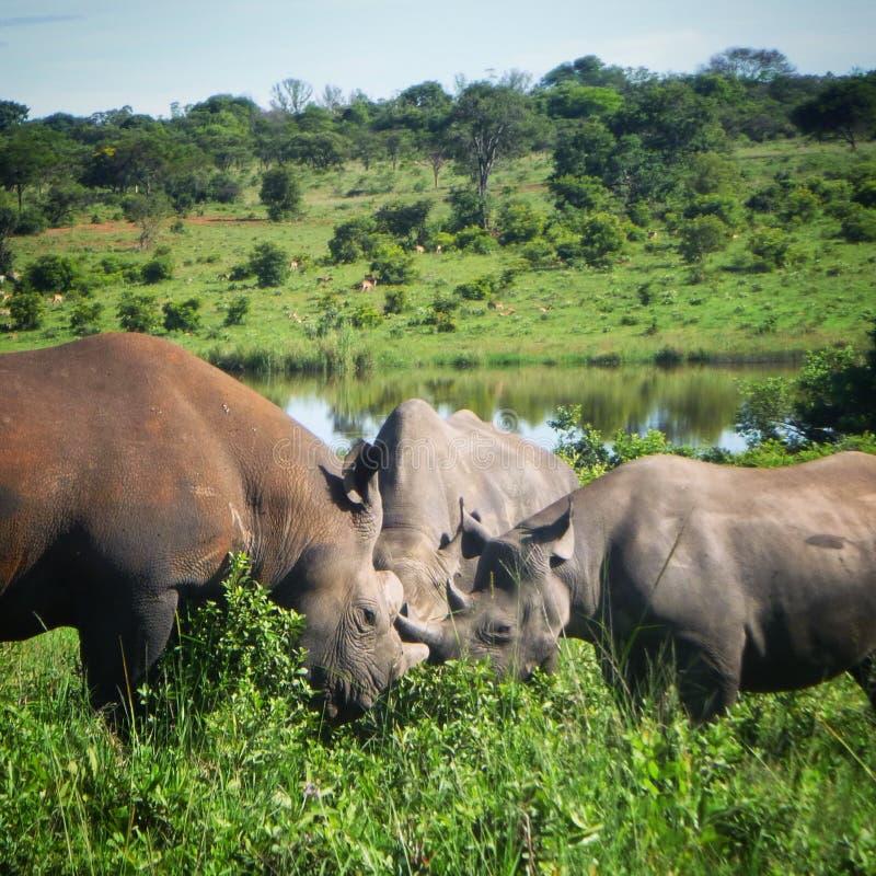 rhinos obrazy royalty free
