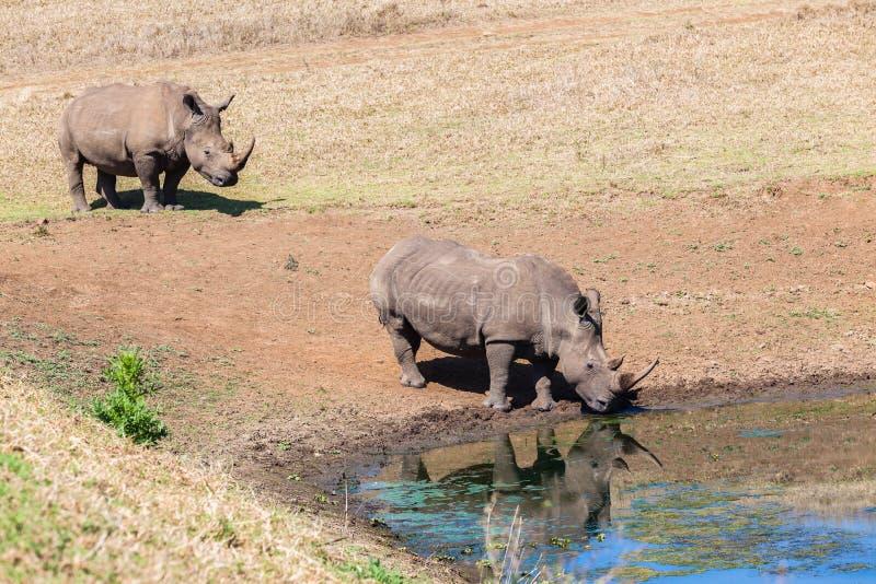 Rhinos Wildlife Water Drinking Royalty Free Stock Images