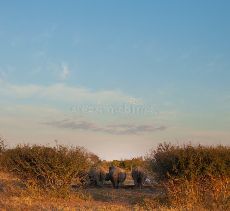 Rhinos behinds przy podlewanie dziurą zdjęcia stock