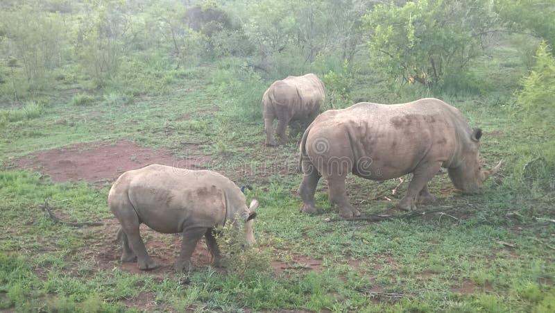 Rhinos brancos foto de stock