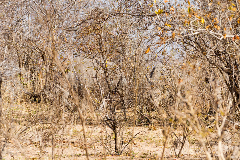 Rhinos?. Can you see them? Three White Rhinocerouses Ceratotherium simum hide in the brush during the winter dry season at Kruger National Park in South Africa royalty free stock photo