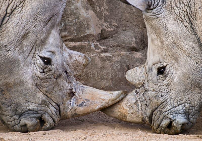 Rhinos confrontados imagens de stock