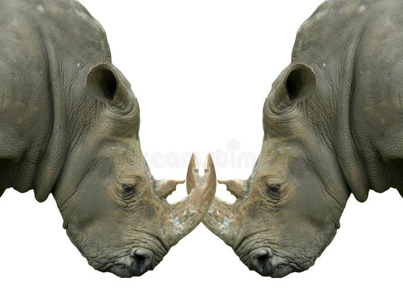 Rhinos en duelo aislados con los claxones bloqueados imagen de archivo libre de regalías