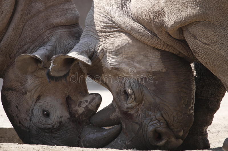Download Rhinos Fight Stock Photo - Image: 17423360