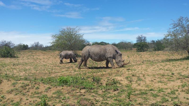 Rhinos grasing in south africa stock photo