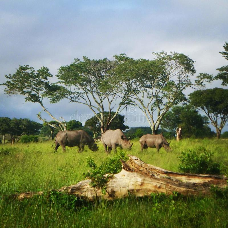 Rhinos jeść zdjęcia stock