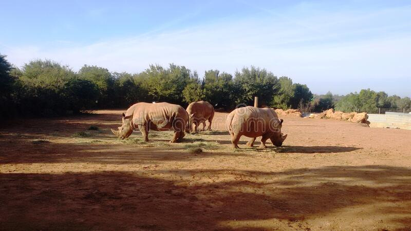 Rhinos are mammals. All rhino species are currently endangered. Rhinos are locally protected and reintroduced royalty free stock photography