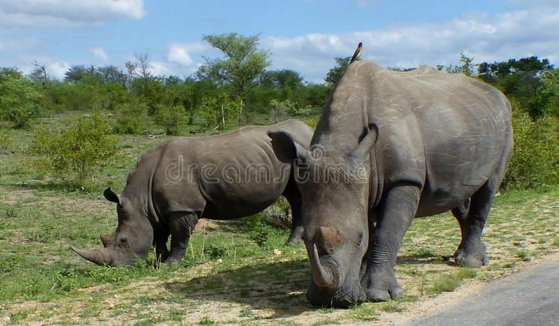 Rhinos mother and child grazing with oxpecker on top of the mother royalty free stock photo