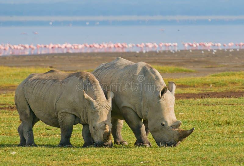 Rhinos nella sosta nazionale di nakuru del lago, Kenia fotografia stock libera da diritti