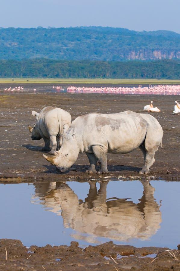 Rhinos no nakuru do lago, kenya fotografia de stock royalty free