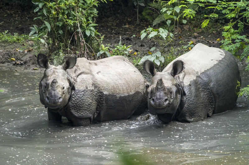 Rhinos. One horned rhinos cooling off in water in Chitwan National Park of Nepal royalty free stock photo