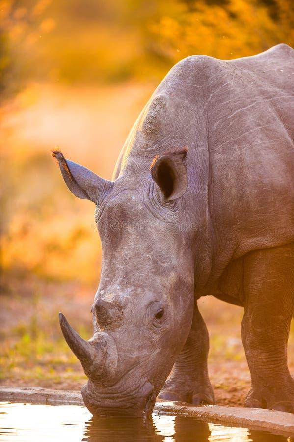 Rhinos przy podlewanie dziurą fotografia stock
