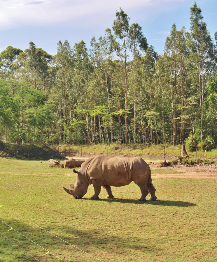 Rhinos. Rhinoceros are a family of extinct ungulates that comprise five contemporary species. Their most distinctive feature is the big horn on the nose. Unlike stock images