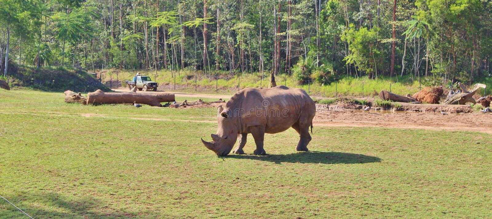 Rhinos. Rhinoceros are a family of extinct ungulates that comprise five contemporary species. Their most distinctive feature is the big horn on the nose. Unlike stock photo