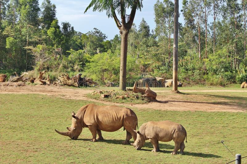 Rhinos. Rhinoceros are a family of extinct ungulates that comprise five contemporary species. Their most distinctive feature is the big horn on the nose. Unlike royalty free stock photos