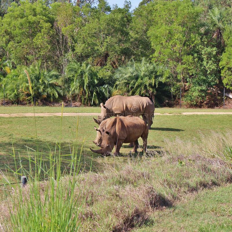 Rhinos. Rhinoceros are a family of extinct ungulates that comprise five contemporary species. Their most distinctive feature is the big horn on the nose. Unlike royalty free stock images