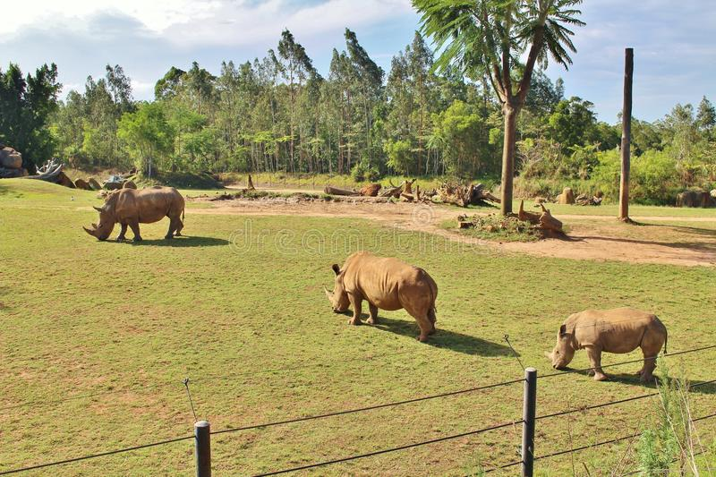 Rhinos. Rhinoceros are a family of extinct ungulates that comprise five contemporary species. Their most distinctive feature is the big horn on the nose. Unlike stock image