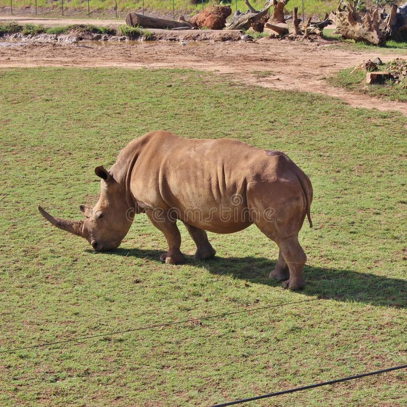 Rhinos. Rhinoceros are a family of extinct ungulates that comprise five contemporary species. Their most distinctive feature is the big horn on the nose. Unlike stock photography